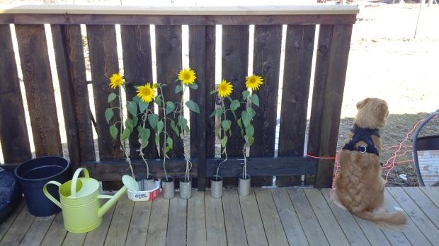 Sunflowers & Leia